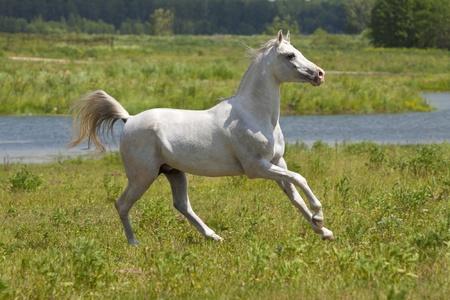 yegua: caballo blanco y agua Foto de archivo