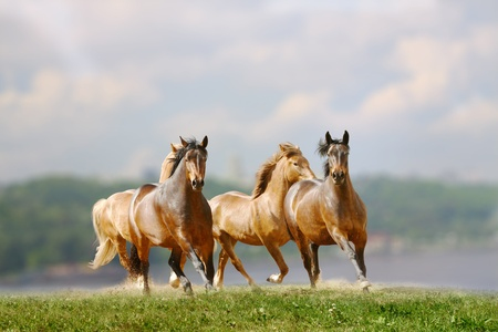 galloping: herd of horses near the river Stock Photo