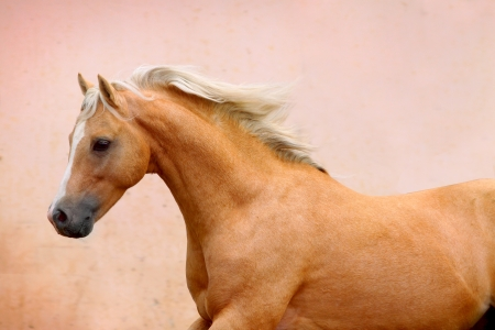 palomino: palomino stallion Stock Photo