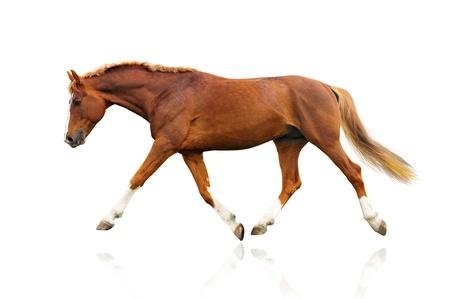 castaÑas: aislado en un caballo blanco