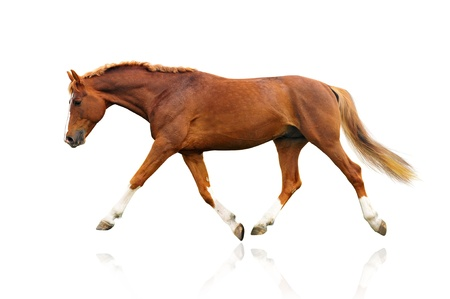 trotting: horse isolated on a white