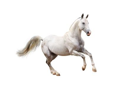 gallop: white horse