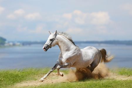Witte hengst en water Stockfoto - 10394435