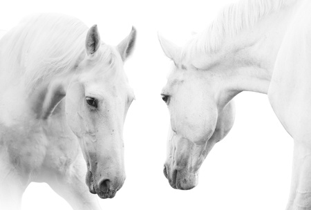 white horses Stock Photo - 10474874