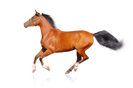 chestnut male: horse isolated on white Stock Photo