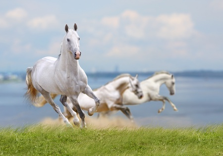 white horses running near water photo