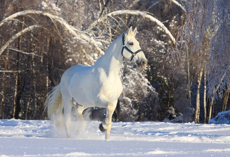 horse in winter forest photo