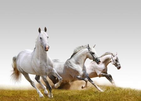 three stallions  photo