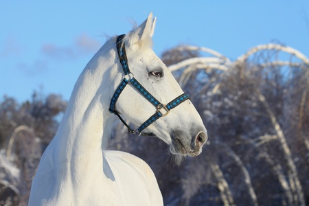 white horse in winter photo