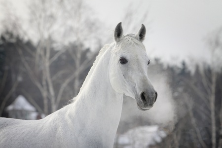 white arabian in winter photo