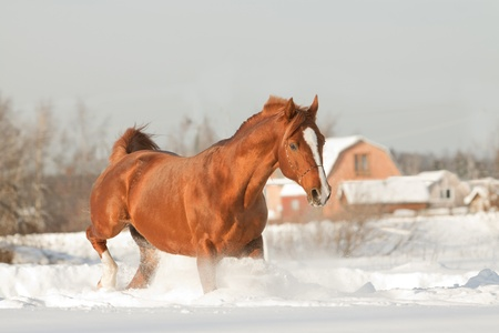 chestnut male: stallion in winter Stock Photo