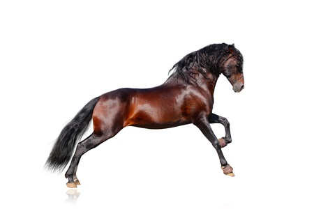 andalusian horse isolated