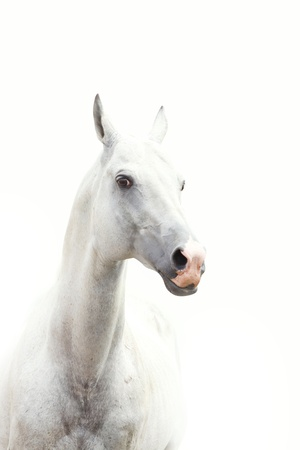 gelding: shot of white horse in a high key