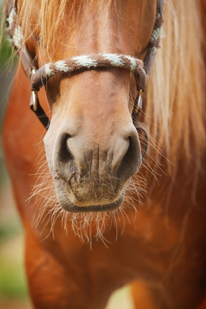 halter: horse nose Stock Photo
