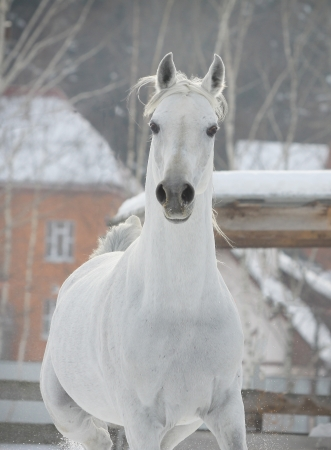 white arab horse photo