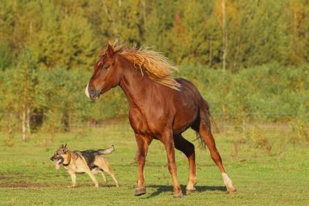 caballos negros: caballo y perro jugando Foto de archivo