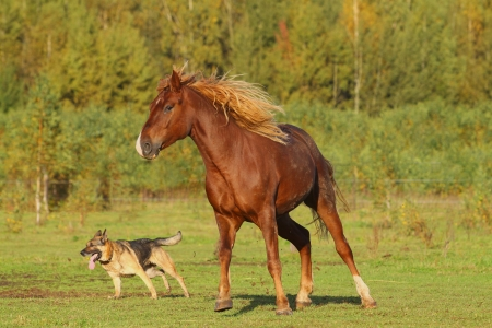 german shepard: horse and dog playing Stock Photo