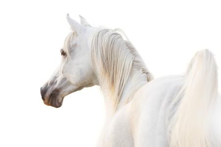 gelding: white arabian