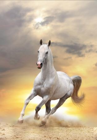 caballo saltando: caballo blanco en la puesta de sol Foto de archivo