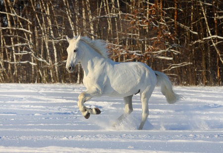 arab beast: white horse galloping in snow