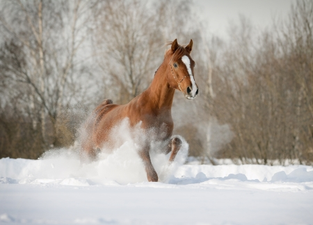 horse in snow: arab stallion in snow