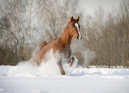 caballos negros: semental �rabe en la nieve
