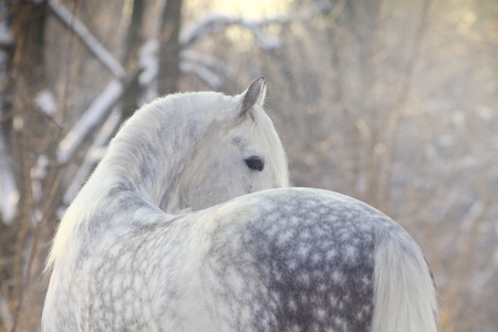 horses in the wild: horse in winter