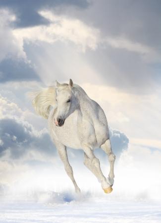 grey horses: white horse