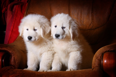 sheepdog: white puppies in armchair