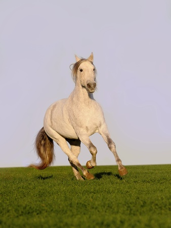 white horse in field photo