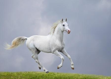жеребец: Белая лошадь в поле Фото со стока