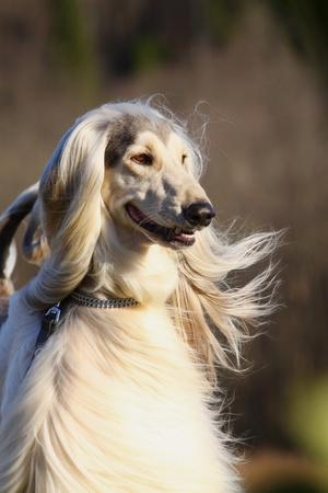 white afghan hound photo