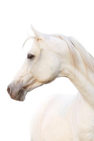 domestic horse: white horse