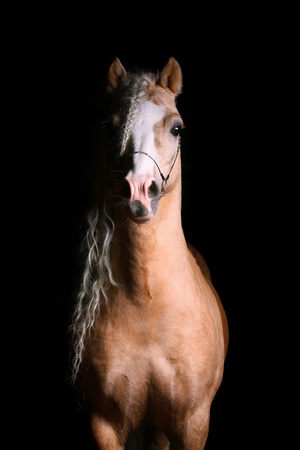 ponies: welsh pony palomino stallion Stock Photo