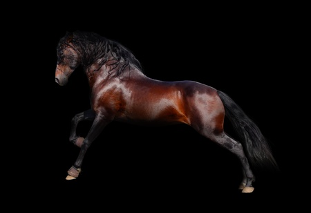 andalusian horse isolated on black photo