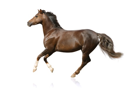 bay: horse isolated galloping Stock Photo