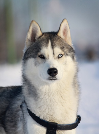purebred husky in winter photo
