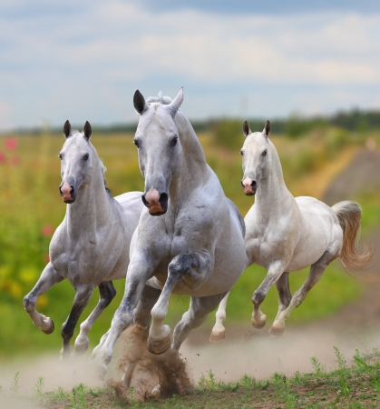galloping: white stallions in dust running