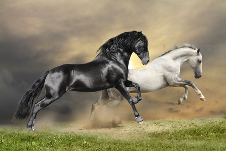 horse andalusian horses: black and white under sunset skies Stock Photo
