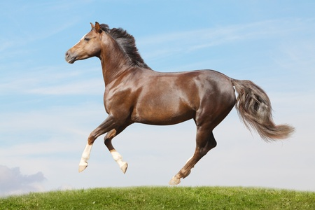 trotting: pony in field galloping