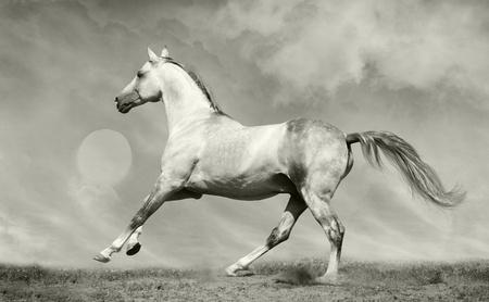 silver-white stallion photo