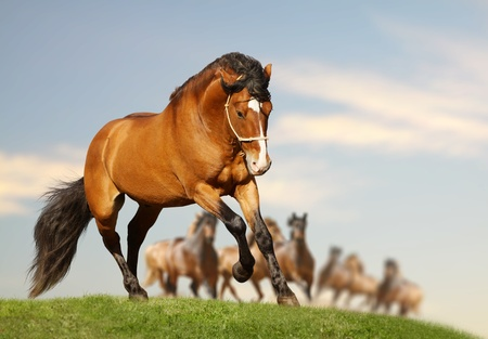 fast horse: stallion with herd Stock Photo