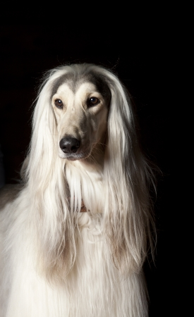 hairy adorable: afghan dog portrait on black.