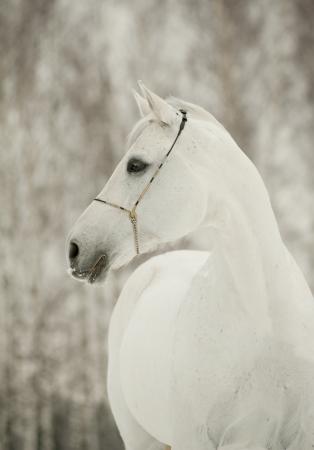 chevaux noir: cheval blanc en hiver
