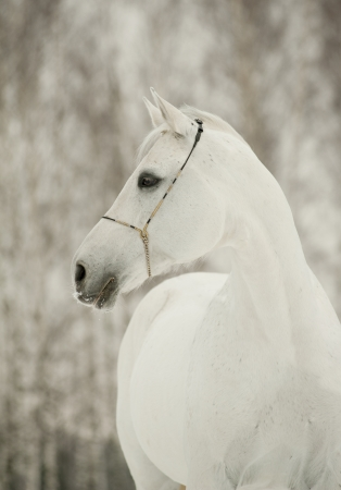 white horse in winter photo