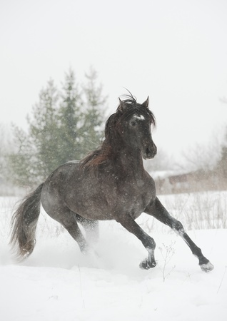 andalusian: andalusian stallion in snow