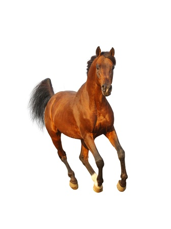 bay: bay arab stallion Stock Photo