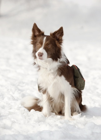 border collie in snow photo