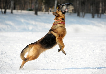 犬歯: ジャーマン ・ シェパード キャッチ ディスク