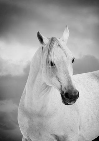 white arabian horse photo